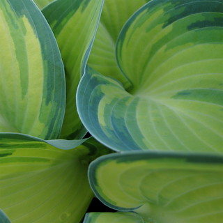 Hosta Leaves 'June'