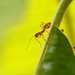 Small photo of Red Weaver Ant Oecophylla smaragdina
