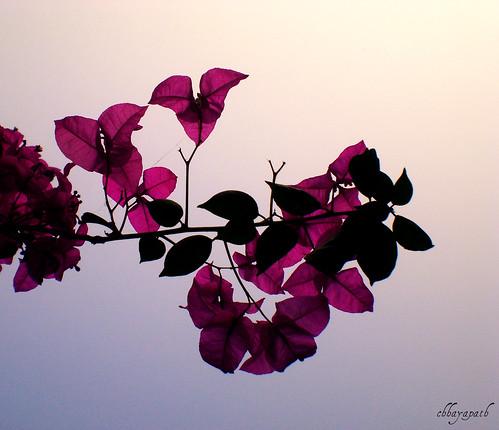 life pink flowers blue sunset sky flower tree love beauty leaves garden leaf petals flora friend branch remember purple bougainvillea petal ju bangladesh bangla chhayapath nagyildus