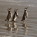 Magellanic Penguins march single file into the ocean 0R7E2821 by WildImages