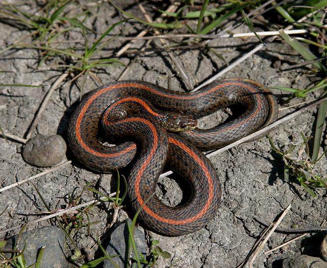 Black Snake With Red Strip - Interracial - Porn Photos-7614