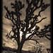 Joshua Tree NP (2)