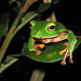 Orange-belly Tree Frog - Photo (c) alexwhite21, some rights reserved (CC BY-NC-SA)