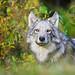 wlf0062_graywolf by John E Marriott