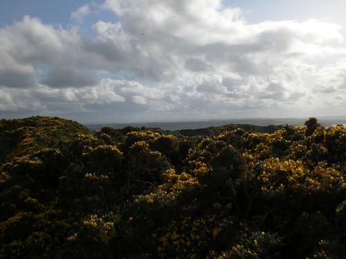 Gorse, Cliff Walk, Giant's Causeway