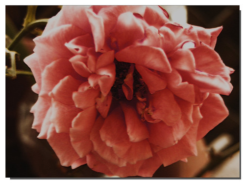 flower macro nature floral rose landscape botanical stem bokeh legacy donotcopy fujifilmfinepixs5700 sharingart awardtree arttate florenceazusa apretentioussystemofheteroducks daarklands theflyingcarpetsociety artisticphotoworks mamasbloomers lirodon