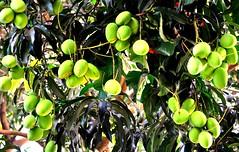 Fruits of Mindanao - Carabao Mangos