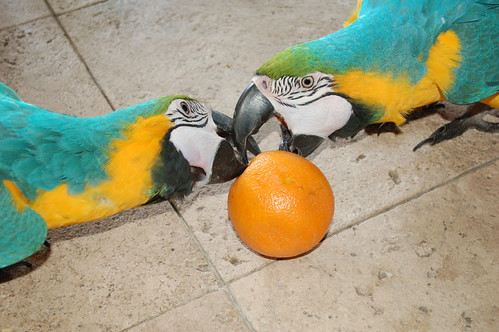 parrot training, training macaws, blue and gold macaws, training blue and gold macaws