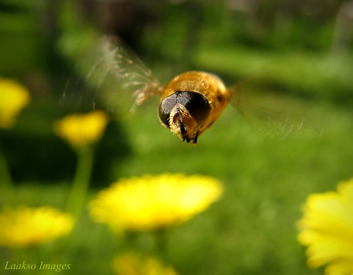 flower macro green nature canon suomi finland insect maria flight images sue hoverfly kerimäki luonto laakso kukka hyönteinen anttola insectphotography canonpowershota710is marialaakso sue323 laaksoimages