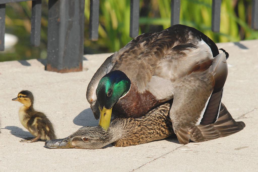 Mallard Ducks Mating - a photo on Flickriver