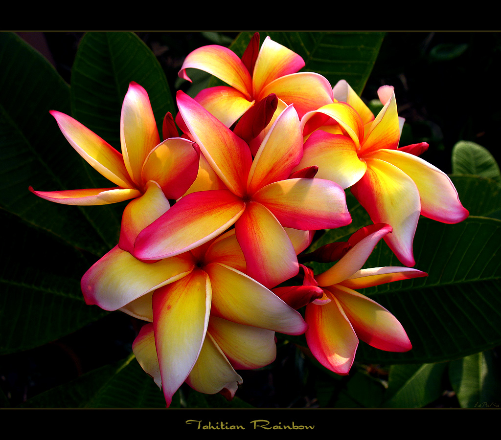 Hawaiian Flowers The Plumeria Tahitian Rainbow a photo on Flickriver