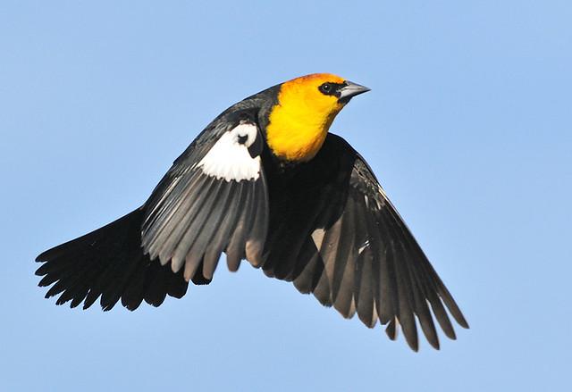 Yellow-Headed Black Bi...