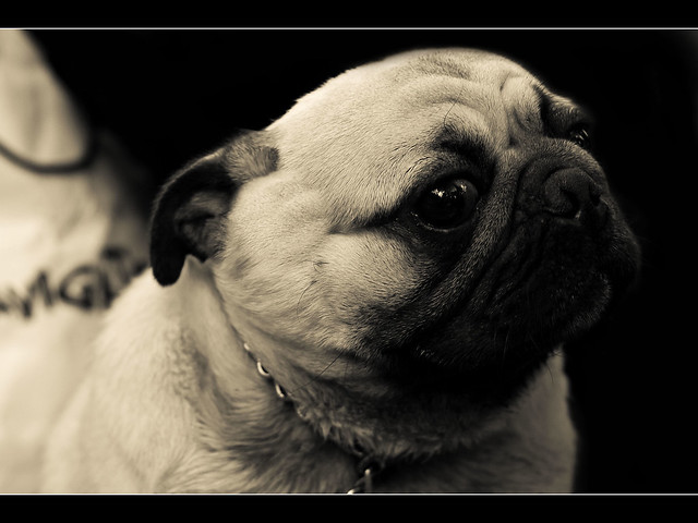 Small Wrinkly Dog Breeds