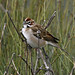 Lark Sparrow - Photo (c) Blake Matheson, some rights reserved (CC BY-NC)
