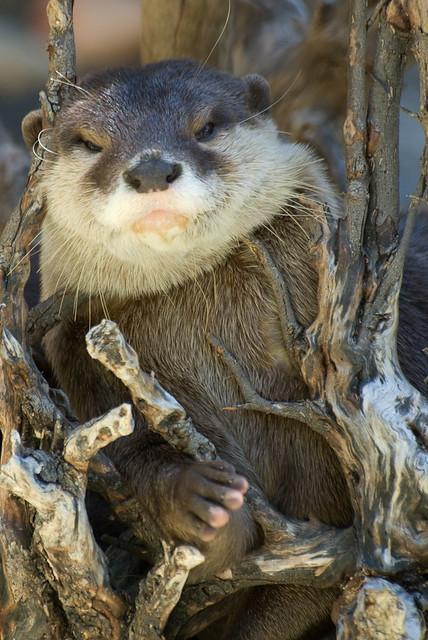 otter nest?