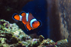 deep sea fish(0.0), pomacanthidae(0.0), coral reef(1.0), anemone fish(1.0), fish(1.0), coral reef fish(1.0), marine biology(1.0), macro photography(1.0), underwater(1.0), reef(1.0),