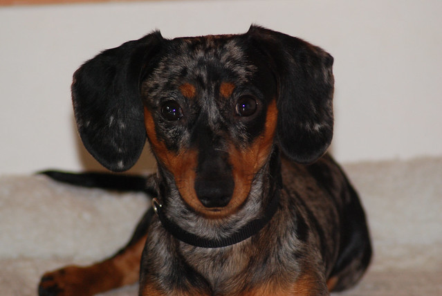 Mojo the silver dapple dachshund | Flickr - Photo Sharing!