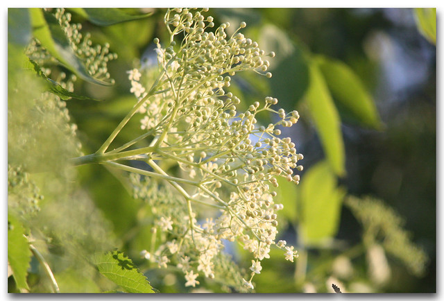 Sambucus flower