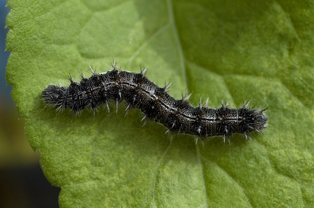 May 8th Painted Lady Caterpillar | Flickr - Photo Sharing!