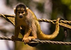 branch(0.0), wildlife(0.0), animal(1.0), monkey(1.0), nature(1.0), mammal(1.0), squirrel monkey(1.0), fauna(1.0), close-up(1.0), old world monkey(1.0), new world monkey(1.0),