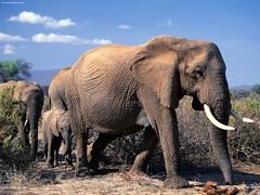 adventure(0.0), mahout(0.0), animal(1.0), indian elephant(1.0), elephant(1.0), elephants and mammoths(1.0), african elephant(1.0), fauna(1.0), savanna(1.0), grassland(1.0), safari(1.0), wildlife(1.0),