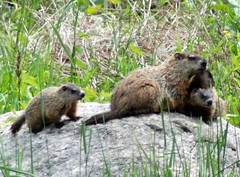 animal, rodent, fauna, marmot, beaver, wildlife,