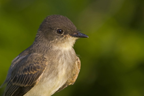 bird phoebe ave easternphoebe flycatcher papamoscas avianexcellence papamoscasfibí