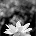 White Lotus Flower: lotus-89-bl