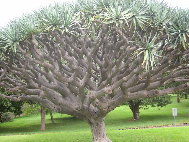dragon tree dracaena draco flickr photo sharing. Black Bedroom Furniture Sets. Home Design Ideas