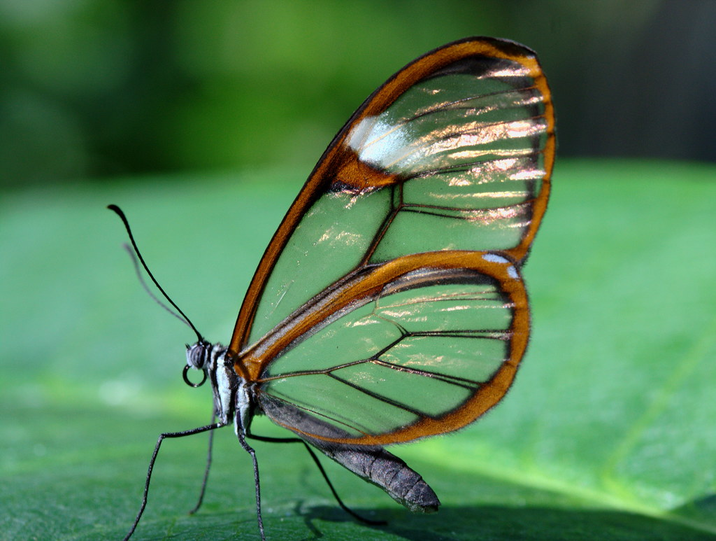 On Black Glass Wing Butterfly Profile By Brian Callahan