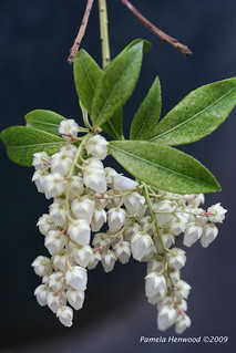 Pieris Flowers 1
