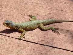 agama, animal, green lizard, reptile, lizard, gecko, fauna, dactyloidae, scaled reptile,