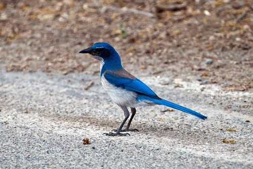 California Jay at the roadside