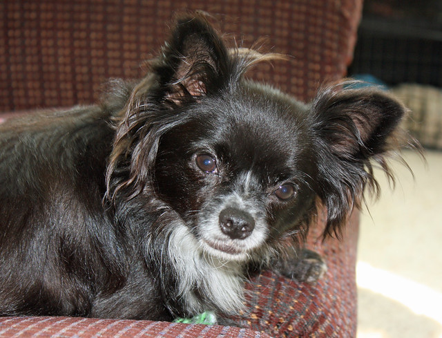 Long-Haired Chihuahua | Flickr - Photo Sharing!