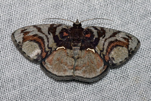 Astygisa circularia (Geometridae: Ennominae: Caberini)