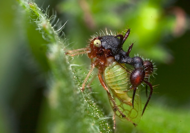 "Cyphonia clavata - believed to be an ""ant-mimicking"" treehopper"