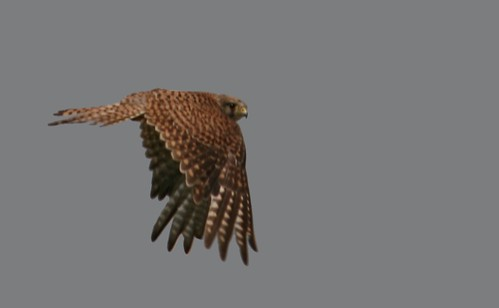 An action capture of a falcon in flight - the wings are on the downbeat and fully extended so that the pattern on the feathers can be clearly seen