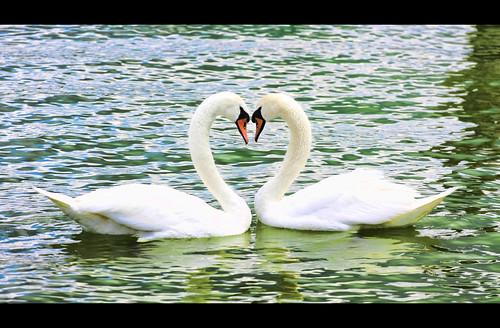 love canon swan l 70200 f4 balaton keszthely 50d szerelem mywinners anawesomeshot hattyú