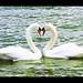 swan love hattyú szerelem