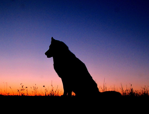 sunset dog husky timber siberianhusky