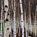Small photo of Birch tree eyes