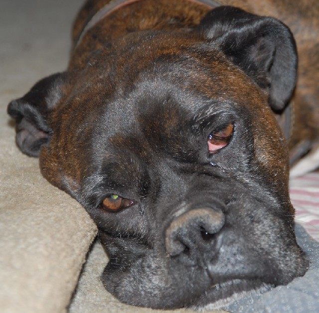Max reverse brindle boxer flickr photo sharing for Brindle boxer