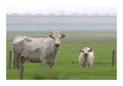 (Farm) animals