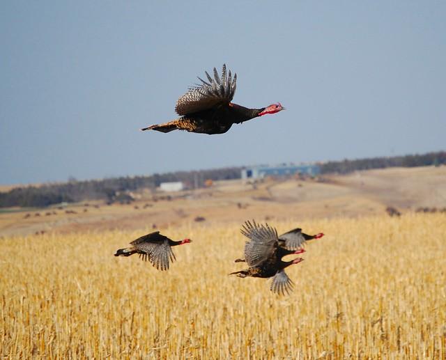 Wild turkey flight - photo#17