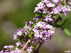 Buddleja alternifolia 02
