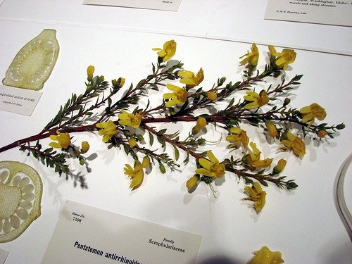 2008-03-22 03-23 Boston 176 Cambridge, Harvard Museum of Natural History, Glass Flowers of Leopold & Rudolph Blaschka