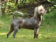 patterdale terrier(0.0), terrier(0.0), dog breed(1.0), animal(1.0), dog(1.0), pet(1.0), carnivoran(1.0), mexican hairless dog(1.0),