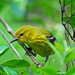 Pine Warbler - Photo (c) Jerry Oldenettel, some rights reserved (CC BY-NC-SA)