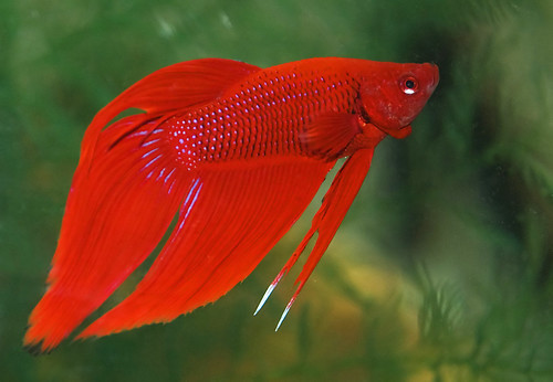 My 2nd betta rufus is this fin rot tropical fish forums for Fish tail rot