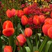 "Tulips with the red spring foliage  of acer Palmatum ""Deshojo"""